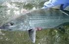 Bonefish & Tarpon Trust: Abaco bonefish genetics trip