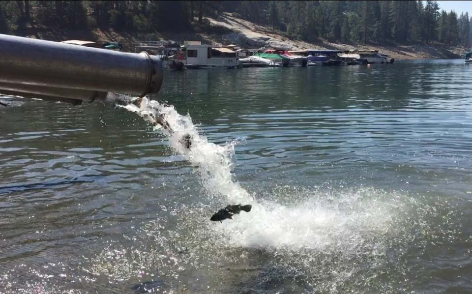 San Joaquin hatchery fish being moved to Shaver Lake