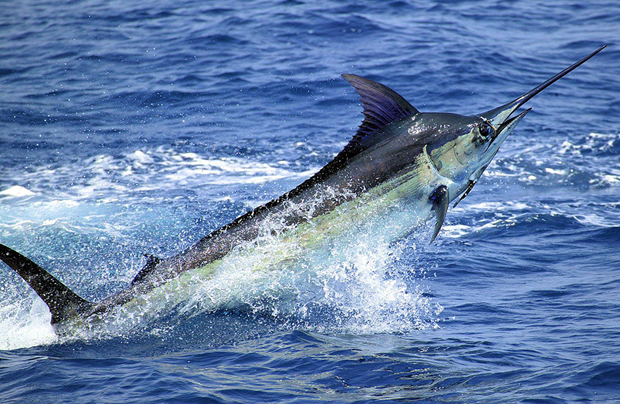 Top predator is overfished. Leaving a sparse 10% of its of historic population.Image credit.