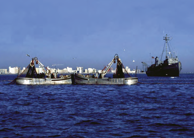 The Texas-based company Omega Protein kills about 80 percent of menhaden harvested annually. The company grinds up the fish and turns them into products such as fertilizer, dietary supplements and feed for animals including, increasingly, foreign fish-farming operations. They are starving wild fish, birds including ospreys and eagles, plus marine mammals including whales and dolphins to feed farm-raised fish. They have exceeded sustainable harvest levels every year but one since 1955.