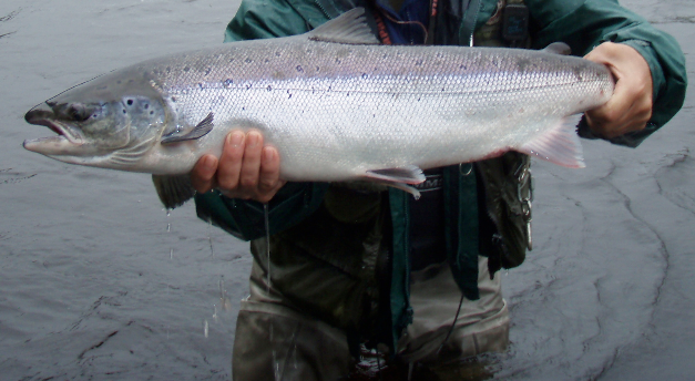 Nearly 1,200 Atlantic salmon returned to Penobscot this year
