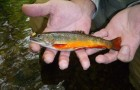 Conservation: Rehoming brook trout, the Dweller of Springs