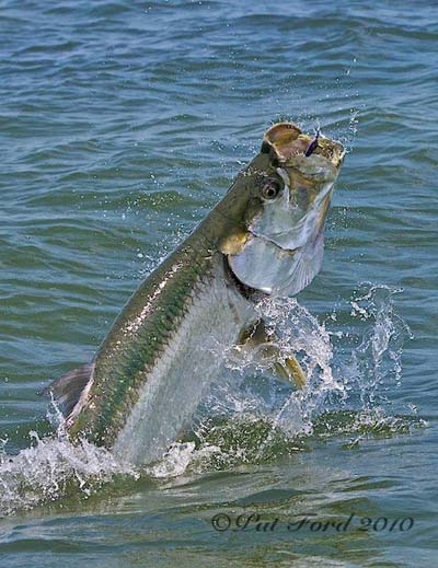 Megalops atlanticus in launch mode. A Pat Ford photo from Bonefish & Tarpon Trust Timeline photos.