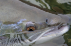 News: Is the Atlantic salmon population our environmental litmus?