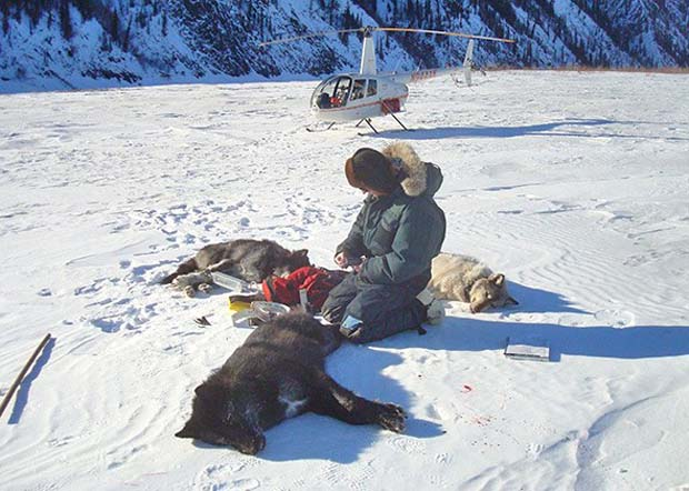 News: Legal slaughter in Alaska? How they got dumber by the minute