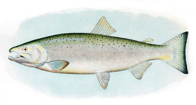 Wednesday Fish Facts: Oncorhynchus kisutch – coho salmon