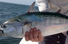 Pew Trust: Mid-Atlantic Council poised to take historic action for forage fish