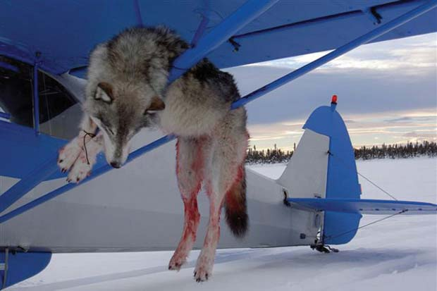 Alaska is ungoverned by those supposed to be governing. They kill them from helicopters, poison the dens with pups. In Alaska, the idiots are in charge.