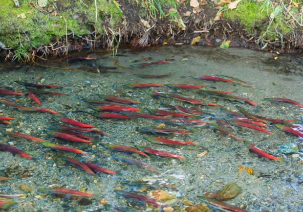 News: Klamath dam removals heralded by salmon while water use interests bicker