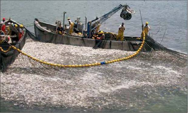 Over-fishing is not limited to the Chinese, top predators like blue fin tuna. It happens right here at home. Pictured is over-harvesting of menhaden in VA. The consequences, less and smaller stripers, lose of birds of prey and other predator fish.