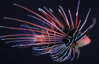 Invasive Species: Whole Foods Market to sell invasive lionfish starting Wednesday