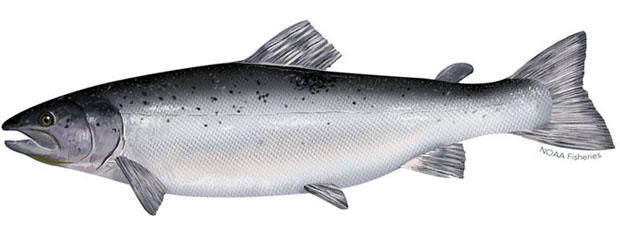 Adult Atlantic Salmon. Image credit NOAA Fisheries.