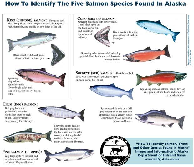 salmon-species