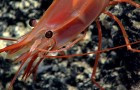 Tips & Tactics: Easy DIY eyes and antennae for shrimps, crabs and crayfish