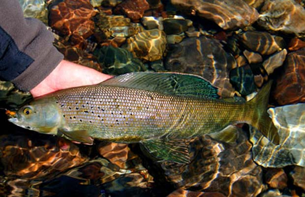 The Arctic grayling comes in a wide array of colors. Coloration can vary from stream to stream. Their dorsal fins are typically fringed in red and dotted with large iridescent red, aqua, or purple spots and markings. These colorful markings are most dramatic on large grayling. Arctic graylings' backs are usually dark. Their sides can be black, silver, gold, or blue. A band of gold forms a border between their sides and white bellies, which are in sharp contrast to their pelvic fins striated with iridescent orange, red, or pink. The sides of the body and head can be freckled with black spots. A black slash lies on each side of the lower jaw. The iris of their eyes is often gold in color. Only their adipose, caudal (tail), pectoral, and anal fins are without much color; typically dull and gray. Arctic grayling are larger a and thicker than that of its cousins (salmon, trout, and char) and they sport a unique scalloped edge. Image provided courtesy of Alaska Department of Fish and Game.