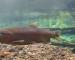 Video: Hypnotizing underwater trout footage