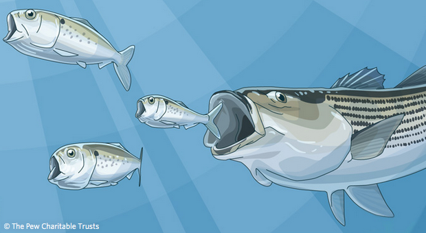 Pew Trust: 10 reasons to maintain the Atlantic menhaden catch limit in 2017