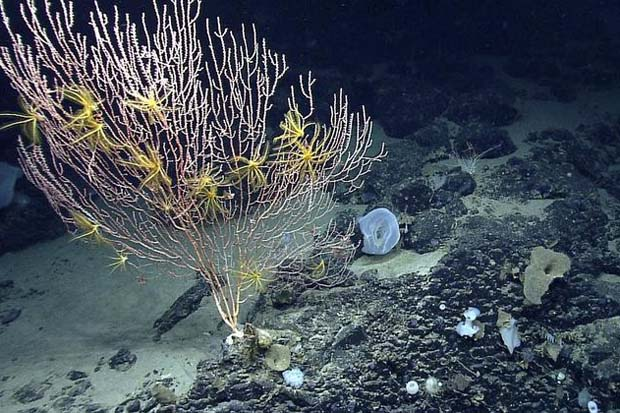 National Oceanic and Atmospheric Administration photo shows corals on Mytilus Seamount off the coast of New England in the North Atlantic Ocean. In the final months of President Barack Obama's term in 2016, conservationists are hoping he'll protect an underwater mountain and offshore ecosystem in the Gulf of Maine known as Cashes Ledge. They also want him to protect a chain of undersea formations about 150 miles off the coast of Massachusetts known as the New England Coral Canyons and Seamounts, including the Mytilus Seamount.