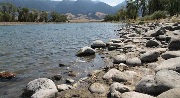 News: Parasite outbreak in Yellowstone River kills thousands of fish