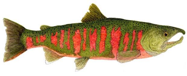 Masu salmon.