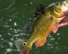 Destinations: The curious case of Miami's peacock bass
