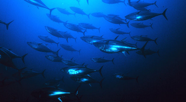 By Danilo Cedrone (United Nations Food and Agriculture Organization) (http://www.photolib.noaa.gov/htmls/fish2001.htm) [Public domain], via Wikimedia Commons