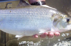 Conservation: Will River Herring and Shad get another chance?