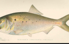 Conservation: Atlantic Menhaden need your voice