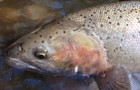 Of Interest: Clearing up Oncorhynchus mykiss as bows and steelies