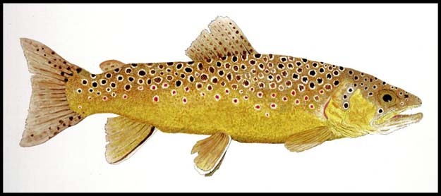 "Click and go to Thom's website. Famous water colorist Thom Glace's ""Study of a Brown Trout"" (Salmo trutta). Part of the artwork for the 2014 Virginia Fly Fishing Festival. Prints Available."