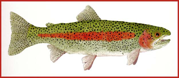 "Click and go to Thom's website. Famous water colorist Thom Glace's ""Study of a Rainbow Trout II"" (Oncorhynchus mykiss). Original Donated to the Virgina Fly Fishing Festival Auction. Prints Available."