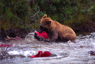 Everybody eats when the salmon come, Tongass National Forest. Photo America's Salmon Forest.