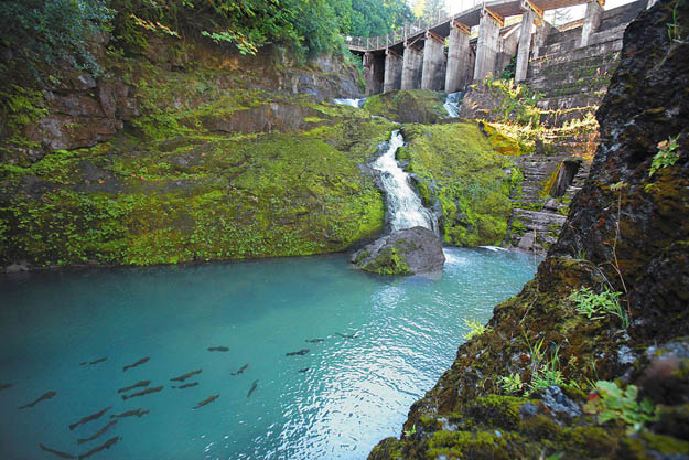 Good News: The Elwha is now a living salmon-steelhead river, end to end