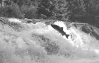 News: BC's world renowned wild salmon rivers spared, for now