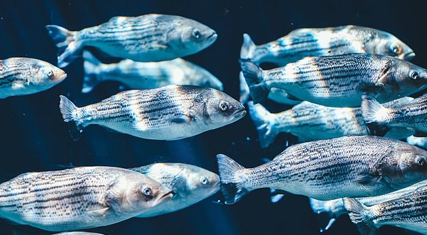 News: NC commercial fisherman pleads guilty to poaching striped bass