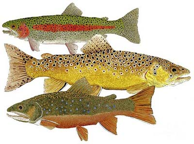common-trout-rainbow-brown-and-brook-thom-glace
