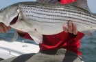 News: NOAA releases data on illegal striped bass poaching ring