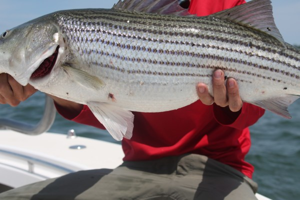 The option to hit winter stripers at the warm water outflow can provide opportunities for large adult fish.