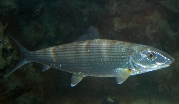 The lateral line – A fish's sixth sense