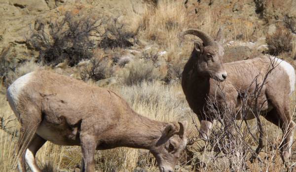 Right now the number of tags is limited to two big horn sheep tags, but the wealthy sportsman and legislators wants an increase to 12 tags that cover all the big game species in Idaho.