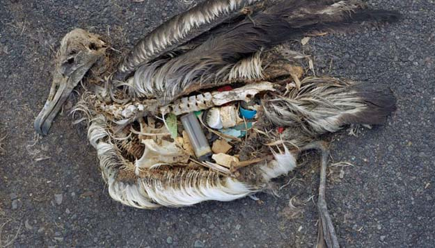 Laysan Albatrosses' Plastic Problem - Midway Atoll, where these photos were taken, is more than 2,000 miles from the nearest land. Photo Chris Jordan
