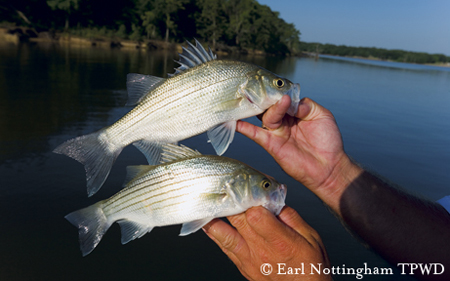 White bass in Texas. Image credit as noted