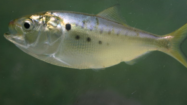 Fisheries managers should heed public opinion—and science—on menhaden