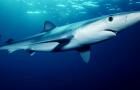 Why are shark flies orange or orange?