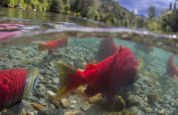 Restoring Migrating Fish Passages Is Measureless