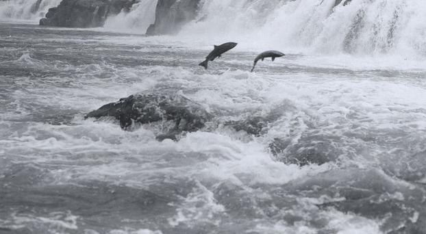 Hatchery salmon crowding habitat in Alaska