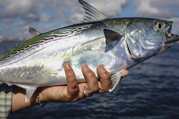 News: Cape Lookout Albacore and Redfish Festival