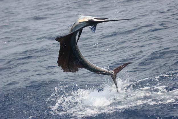 Angler Backed Billfish Conservation Act Passes U.S. Senate