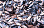 Fissues on the Menhaden Fishery Management Plan