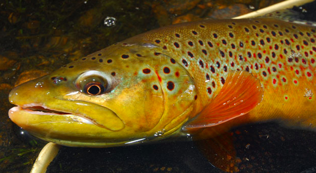 Lees Ferry trout fishery faces challenge